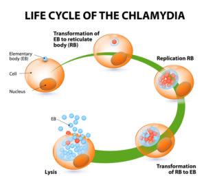 Klamydiatartunnan vaiheet